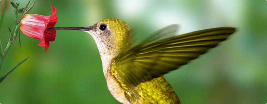 Hummingbird Header